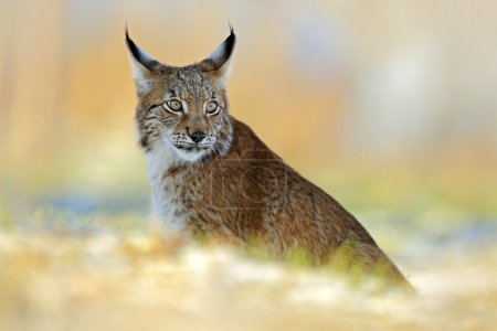 Eurasian Lynx on snow meadow in winter...