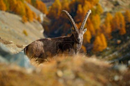 Alpine Ibex in nature habitat