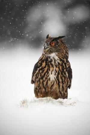 Big Eurasian Eagle Owl