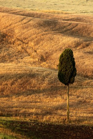 Lonely tree between fields