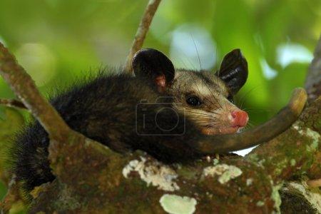 Common Opossum in wild nature