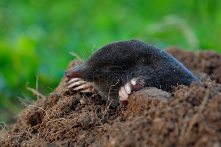 Mole crawling out of brown molehill