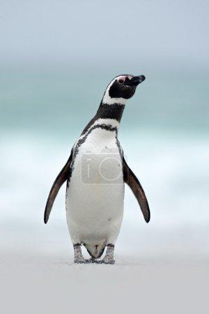 Magellanic penguin, Spheniscus magellanicus, on th...