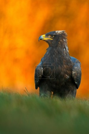 Steppe Eagle sitting in the grass