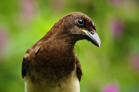 Brown Jay portrait