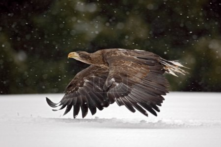 Bird of prey White-tailed Eagle