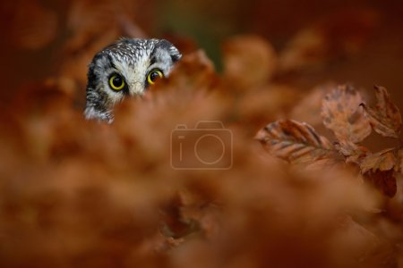 Portrait of Boreal Owl