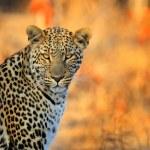 African Leopard, Panthera pardus shortidgei, Hwang...