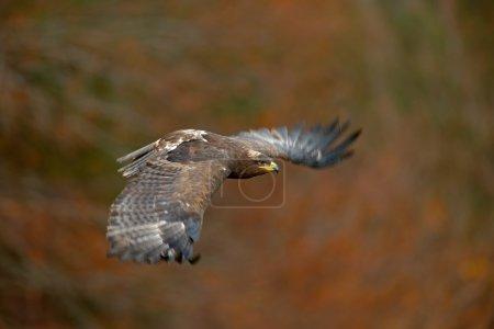Flying dark brawn Steppe Eagle