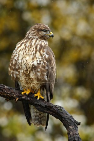Bird of pray Common Buzzard