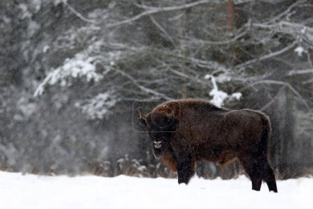 European bison in the winter forest