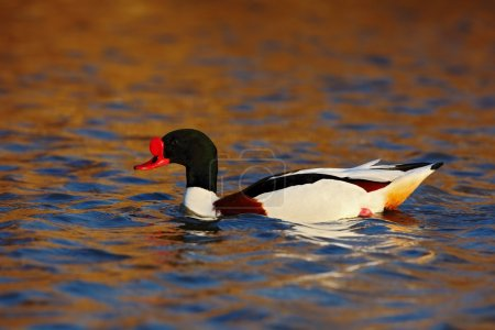 Common Shelduck in the nature habitat