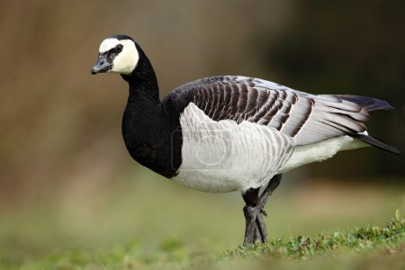 Black and white bird Barnacle Goose