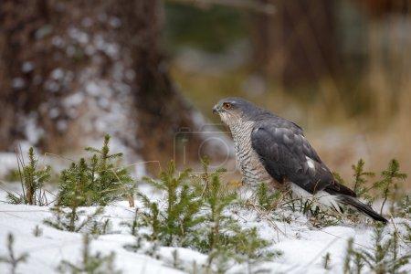 Birds of prey Eurasian sparrowhawk