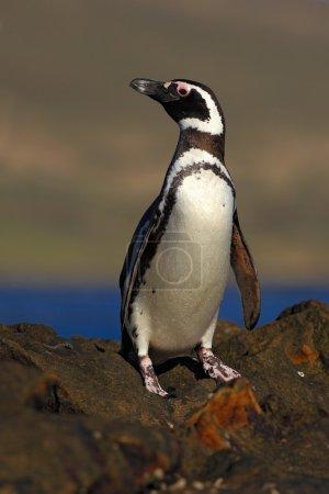 Magellanic penguin, Spheniscus magellanicus, bird ...