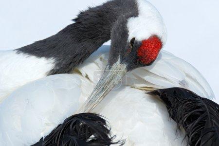 Red-crowned crane head portrait