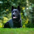 German Shepherd Dog, is a breed of large-sized wor...