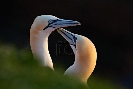 Photo pour Fous de Bassan, Sula bassana, détail tête portrait avec le soleil du soir et de la mer sombre dans le fond, les beaux oiseaux amoureux, les paires d'animaux sur l'île de Helgoland, Allemagne - image libre de droit
