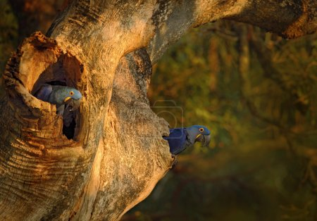 Blue parrots Hyacinth Macaw in nest tree in brazil...