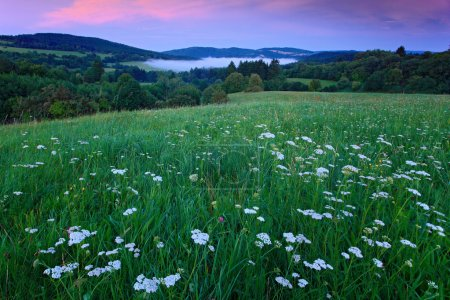 Blooming meadow with white flowers and evening pink sky in Bohemian-Moravian Highlands during sunset, Czech republic