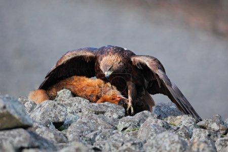 Golden Eagle feeding