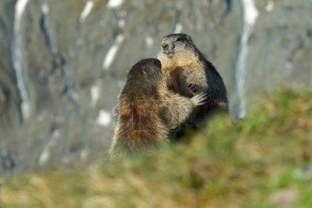 Fighting animals Marmots, Marmota marmota, in the ...