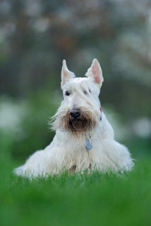 Scottish terrier, white, wheaten cute