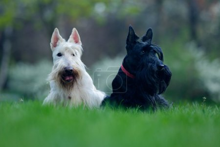 Black and white dogs,