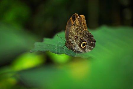 Beautiful butterfly Blue Morpho