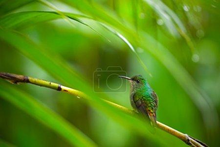 Photo pour Colibri vert dans la forêt tropicale, Salvador - image libre de droit