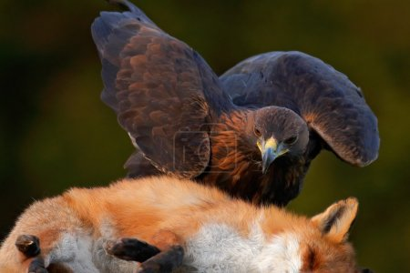 Golden Eagle kill Red Fox