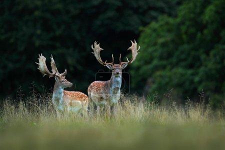 Fallow Deer, adult animals in autumn forest, Dyreh...