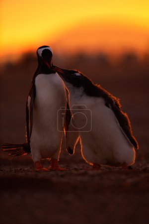 Feeding scene of gentoo penguins