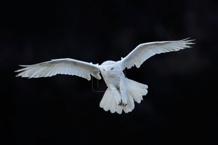 Snowy owl flying in the dark forest