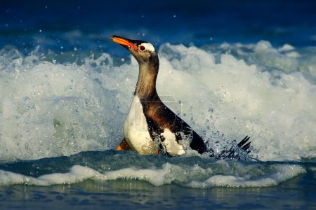 Magellanic Penguin swiming in the waves