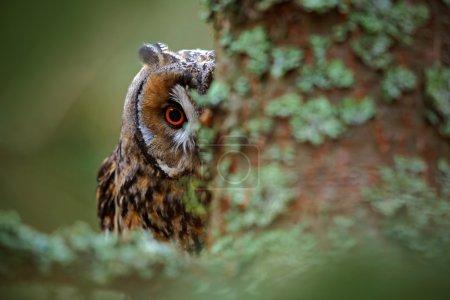 Photo pour Verticale cachée Hibou à longues oreilles avec de grands yeux oranges derrière le tronc d'arbre de mélèze, animal sauvage dans l'habitat de nature, Suède - image libre de droit