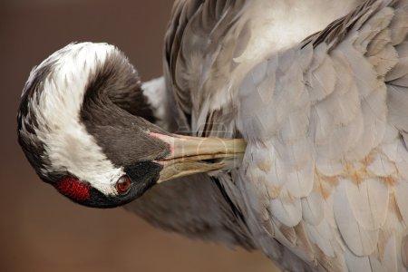 Common Crane in the nature habitat