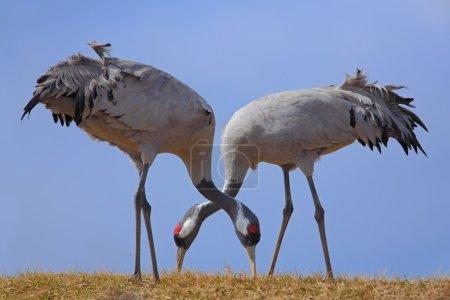 Common Cranes in the nature habitat