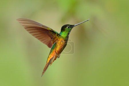 Hummingbird Golden-bellied