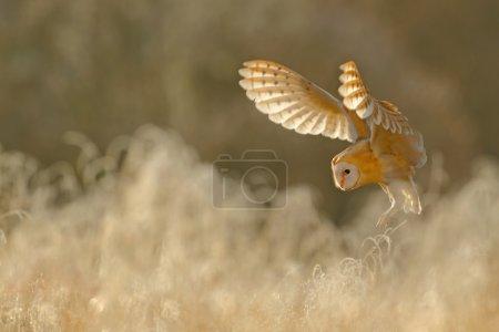 Photo pour Chasse Hibou des clochers, oiseau sauvage le matin belle lumière, animal dans la nature habitat, atterrissage dans l'herbe, scène d'action, France - image libre de droit