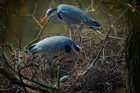 water birds in nest with eggs