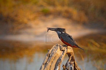 Giant Kingfisher, bird with kill fish, feeding foo...