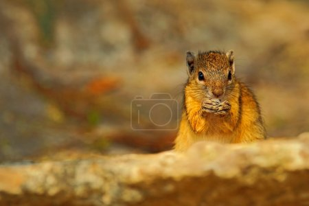 Tree Squirrel eating nut