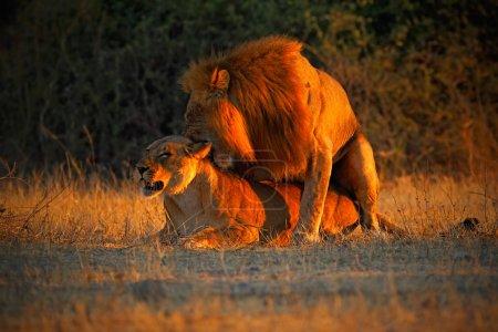 Katanga Lions mating