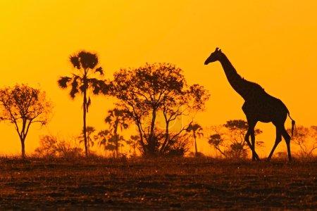 Idyllic giraffe silhouette