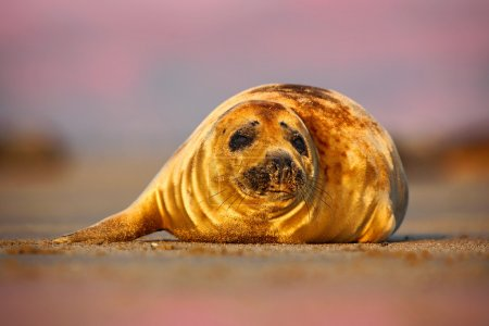 Photo pour Grey Seal, Halichoerus grypus, detail portrait of animal on the sand beach with morning sky on the background, Animal in the nature sea habitat, United Kingdom - image libre de droit