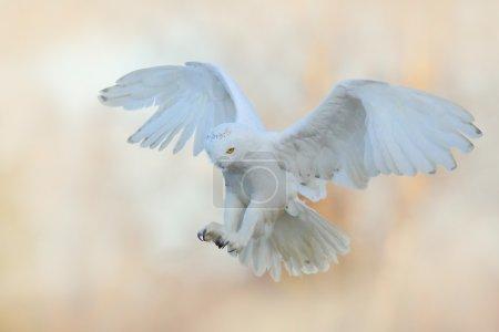 flying Snowy owl