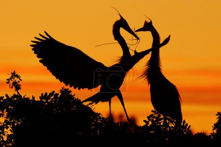 Photo for Two herons on the tree with orange sunset, Wildlife scene from nature, Beautiful birds in love, Courtship ceremony of herons in nesting season, Florida - Royalty Free Image