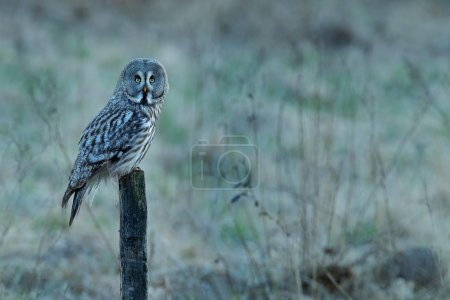 Great grey owl sitting on stump