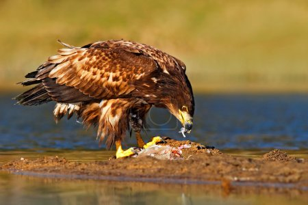 White-tailed Eagle with fish